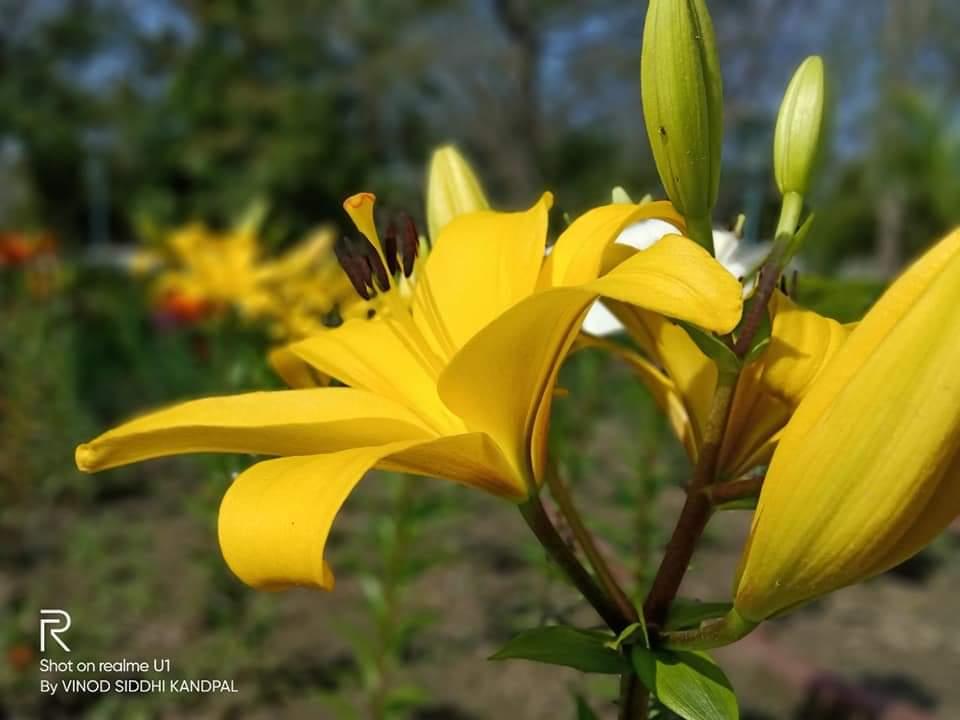 विदेशी फूलों से गुलजार हल्द्वानी