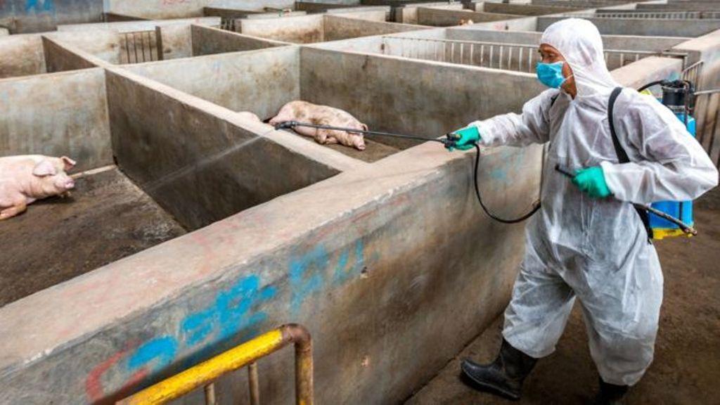 कोरोना संकट के बीच अफ्रीकन स्वाइन फ्लू ने दी भारत में दस्तक