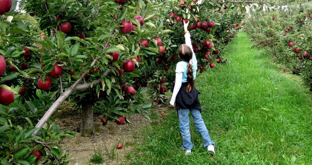 सेब की क्रांति से रुकेगा पहाड़ों से पलायन